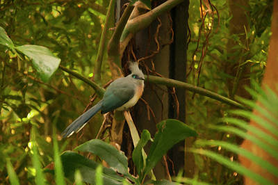 Photograph - Crested Coua Digital Oil  by Chris Flees