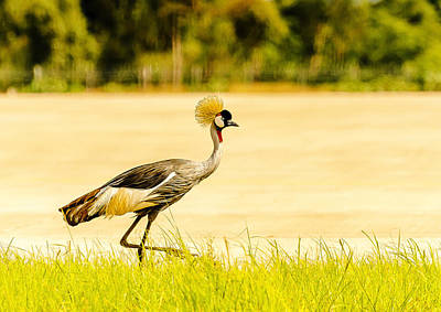 Crested Crane Art Print by Patrick Kain