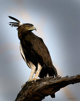Photograph - Crested Eagle Samburu Kenya by Joseph G Holland
