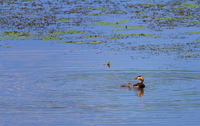 Photograph - Crested Grebe, Podiceps Cristatus, Duck And Baby, Kis-balaton, Hungary by Elenarts - Elena Duvernay photo
