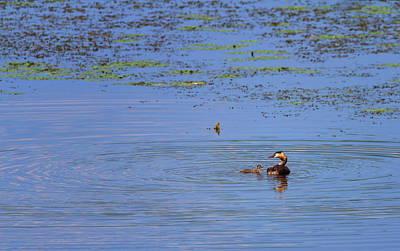 Photograph - Crested Grebe, Podiceps Cristatus, Duck And Baby, Kis-balaton, Hungary by Elenarts - Elena Duvernay photo