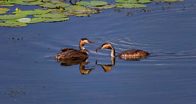Photograph - Crested Grebe, Podiceps Cristatus, Ducks Feeding Baby, Kis-balat by Elenarts - Elena Duvernay photo