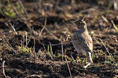 Crested Lark Art Print by Cliff Norton