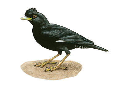 Starlings Drawing - Crested Myna by Lionel Portier