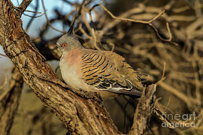 Photograph - Crested Pigeon by Werner Padarin