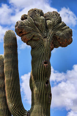 Photograph - Crested Saguaro  by Saija Lehtonen