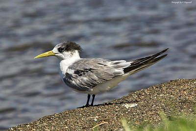Digital Art - Crested Tern 01 by Kevin Chippindall
