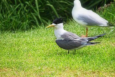 Photograph - Crested Tern 3 - Montague Island  - Australia by Steven Ralser