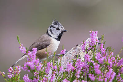 Photograph - Crested Tit In Heather by Karen Van Der Zijden