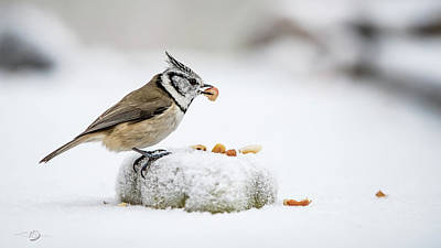 Photograph - Crested Tit's Catch A Peanut by Torbjorn Swenelius