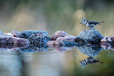 Crested Tit's Reflection Art Print