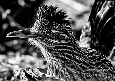 Cresting Roadrunner, Black And White Art Print