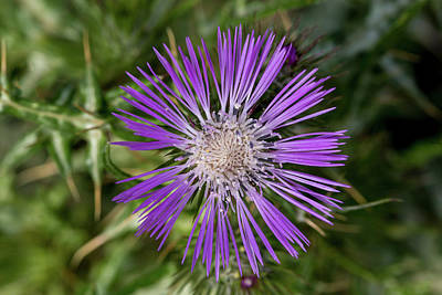 Photograph - Cretan Thistle by Paul Cowan