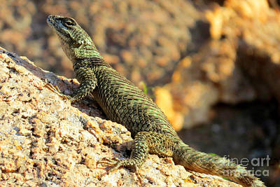Photograph - Crevice Spiny Lizard by Frank Townsley