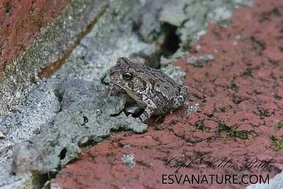 Photograph - Cricket Frog 8722 by Captain Debbie Ritter