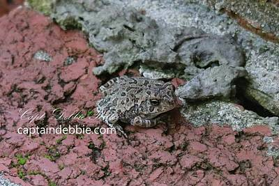 Photograph - Cricket Frog 8838 by Captain Debbie Ritter