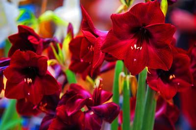 Amsterdam Market Photograph - Crimson Amaryllis. Amsterdam Flower Market by Jenny Rainbow