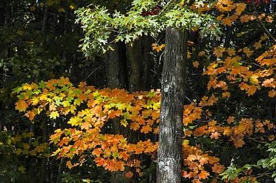 Photograph - Crimson And Orange Maple Tree by NaturesPix