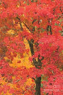 Photograph - Crimson Beauty by Frank Townsley