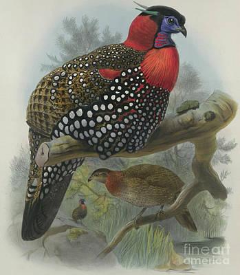 Pheasant Drawing - Crimson Bellied Tragopan by Joseph Wolf