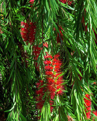 Photograph - Crimson Bottlebrush Or Lemon Bottlebrush Dthn0221 by Gerry Gantt