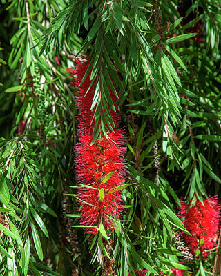 Photograph - Crimson Bottlebrush Or Lemon Bottlebrush Dthn0222 by Gerry Gantt
