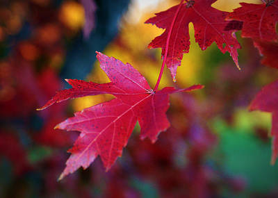 Red Leaves Photograph - Crimson Close Up by Cricket Hackmann