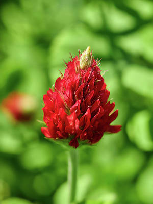 Photograph - Crimson Clover by Jouko Lehto