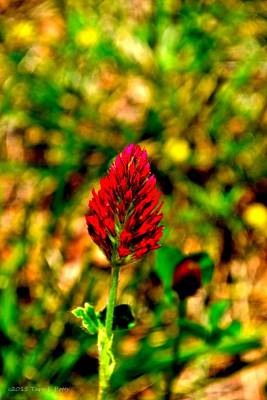 Photograph - Crimson Clover by Tara Potts