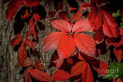 Photograph - Crimson Confusion by Kim Clune