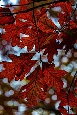 Photograph - Crimson Oak by Rick Berk
