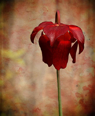 Photograph - Crimson Pitcher Plant by Judy Vincent