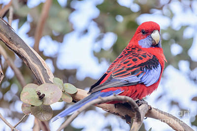 Photograph - Crimson Rosella 03 by Werner Padarin