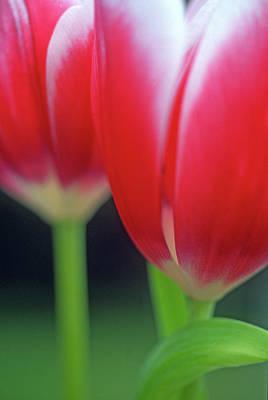 Crimson Tulips Art Print by Kathy Yates