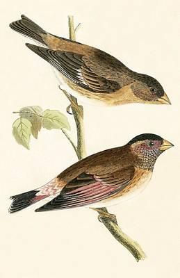Finch Drawing - Crimson Winged Grosbeak by English School
