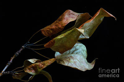 Photograph - Crinkled Leaves 3 by Bob Christopher