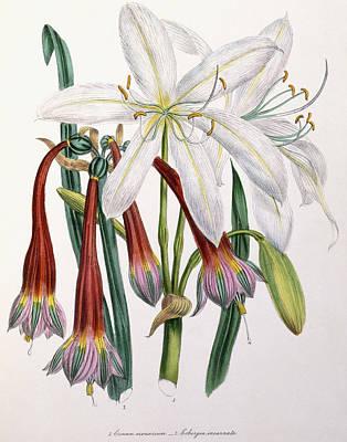 Lilies Drawing - Crinum Arenarium And Cobergia Incarnata by English School