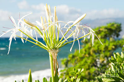 Photograph - Crinum Asiaticum - Spider Lily - Pacific Ocean by Sharon Mau