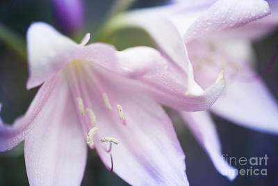 Photograph - Crinum Macowanii Pink River Lily With Raindrops by Sharon Mau