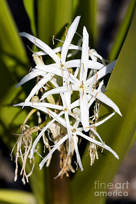 Lilies Royalty-Free and Rights-Managed Images - Crinum Spiderlily Flower by Jorgo Photography - Wall Art Gallery