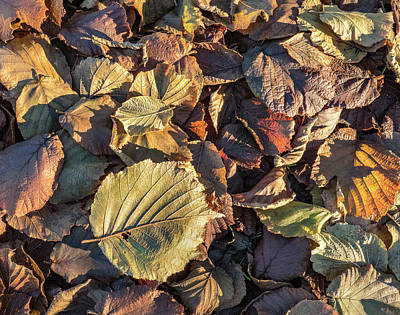 Photograph - Crispy Filbert Leaves by Jean Noren