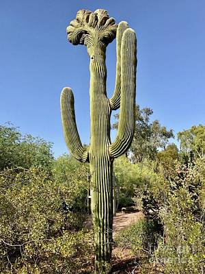 Photograph - Cristate Saguaro by Sean Griffin