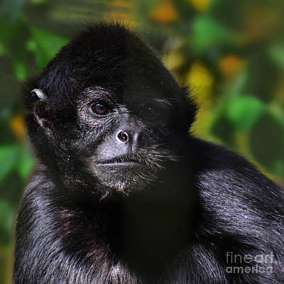 Photograph - critically endangered Black Spider Monkey 2 in col  by Paul Davenport