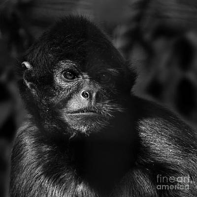 Photograph - critically endangered Black Spider Monkey 2 by Paul Davenport