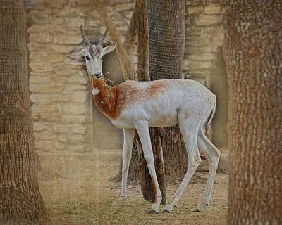 Addra Gazelle Photograph - Critically Endangered Dama Gazelle by TN Fairey