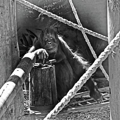 Photograph - Critically Endangered Orang-utan by Miroslava Jurcik