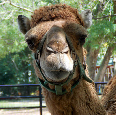 Camel Photograph - Critter 8-3 by Skip Willits
