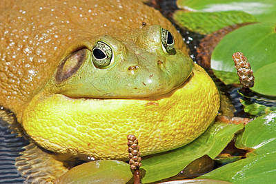 Photograph - Croaking Bullfrog Portrait by David Freuthal