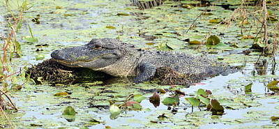 Photograph - Croc On A Rock by Carla Parris