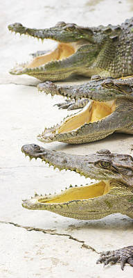 Reptiles Royalty-Free and Rights-Managed Images - Crocodile Choir by Jorgo Photography - Wall Art Gallery